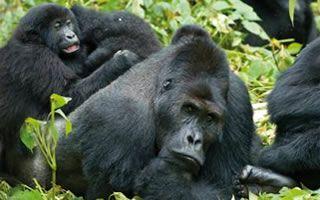 gorilla-family
