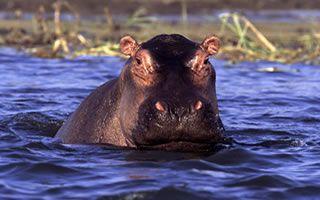 hippo-uganda