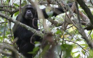 nyungwe-chimps