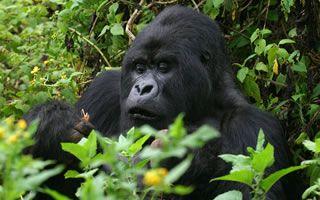 pnv-gorilla