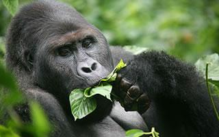 rwandan-gorilla