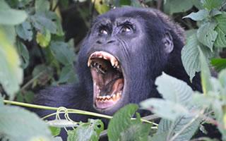 bwindi-gorilla-crying