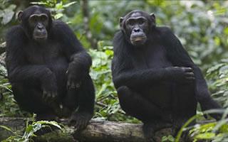 kibale-chimpanzees