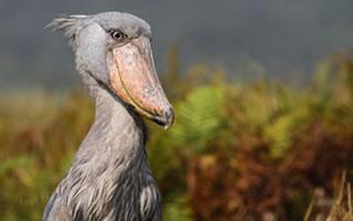 shoebill-stork-uganda