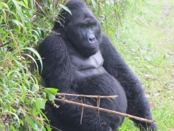 Gorilla safari1